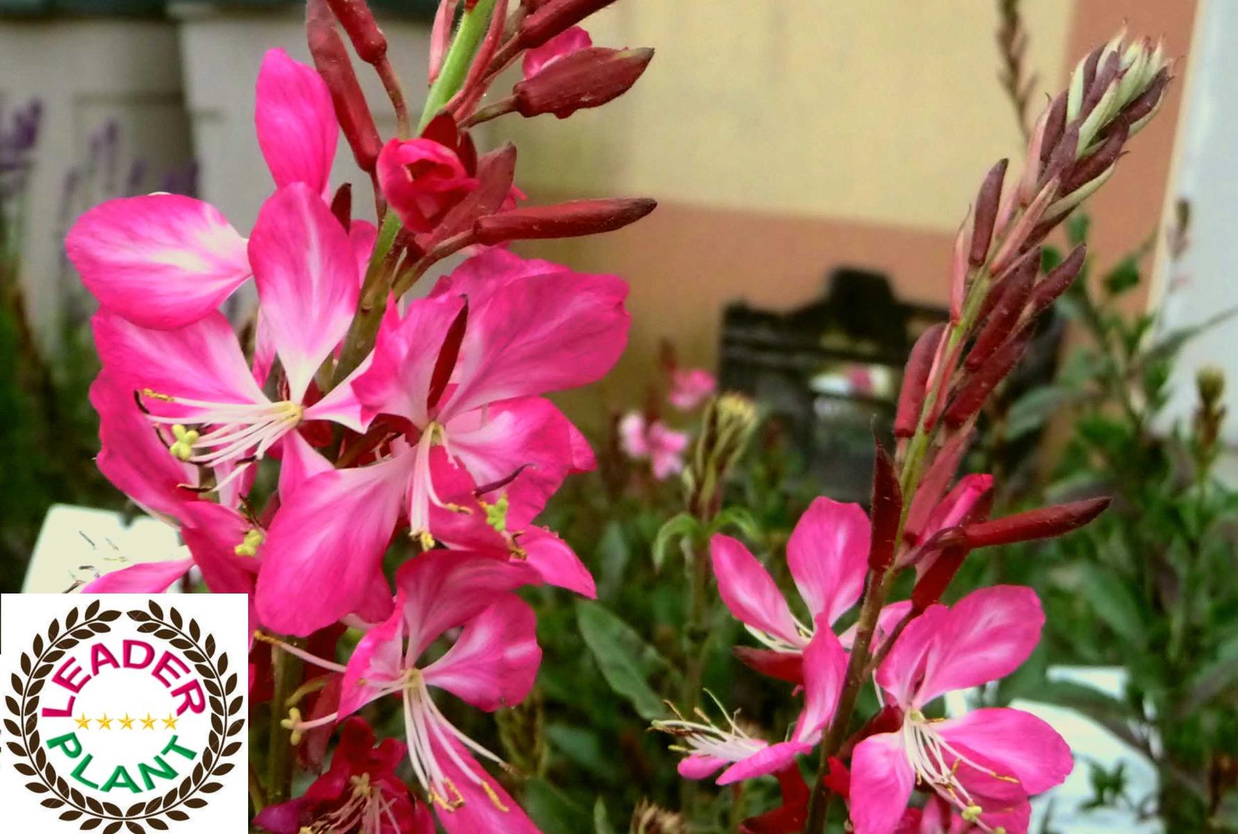 Gaura 'Rosy Jane'®