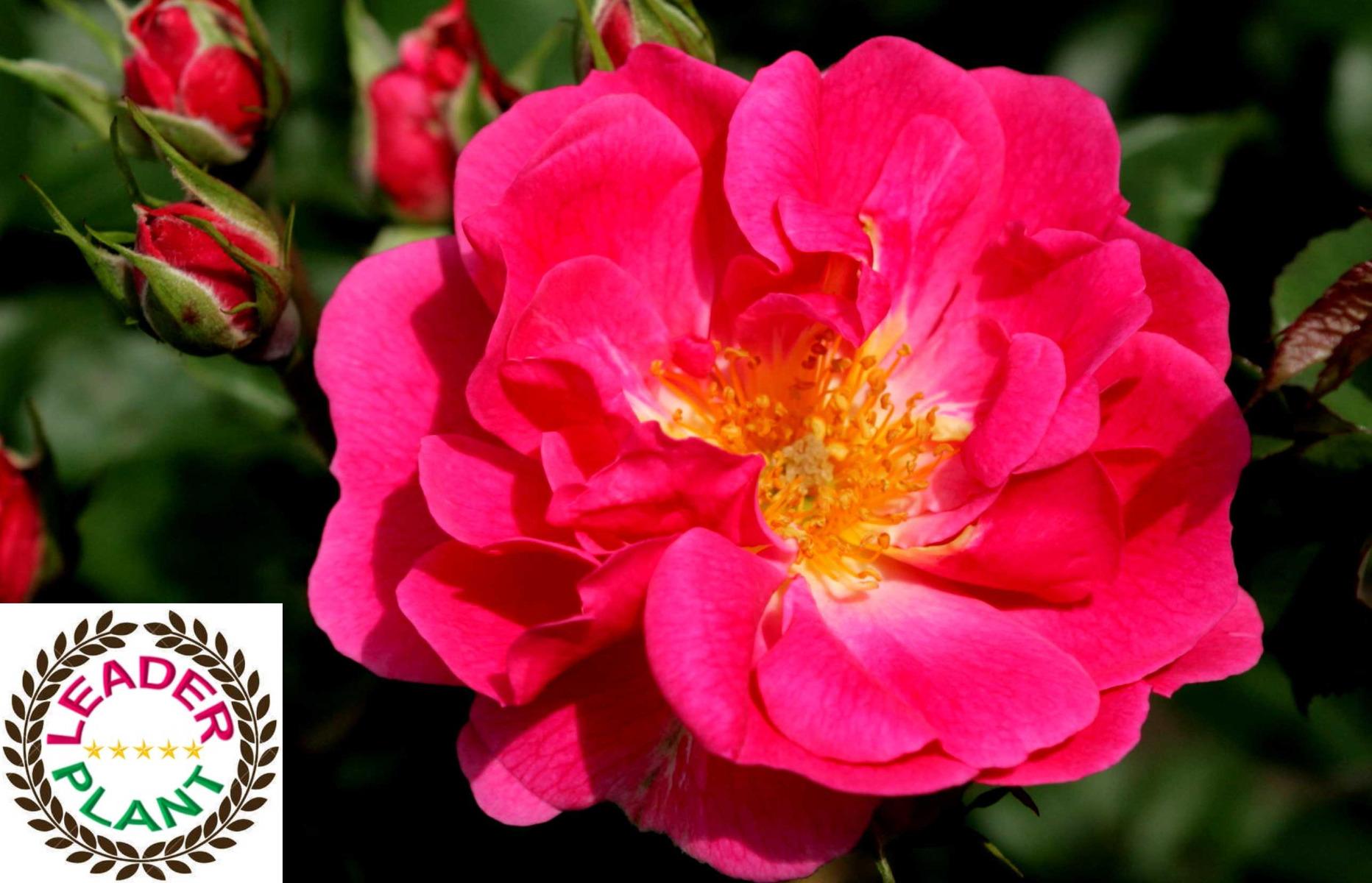Rosier KORDES 'Pink Emely' ®