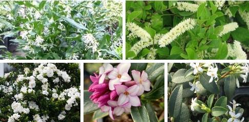 balcon ombre paris arbustes parfumés