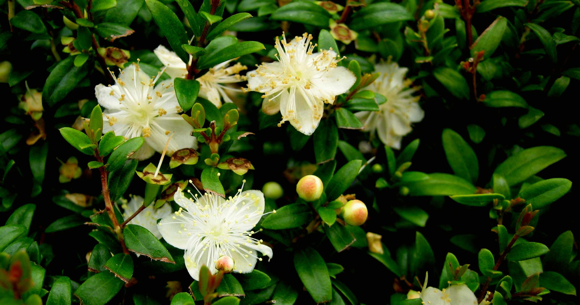 arbustes de rocailles - leaderplant