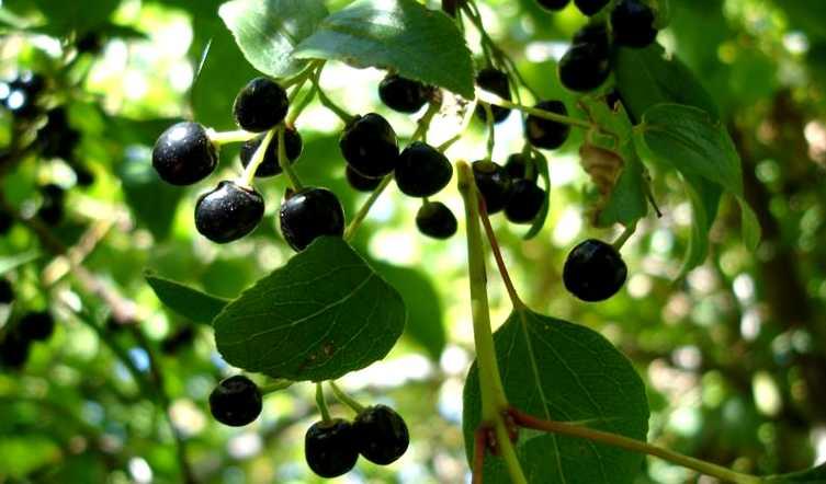 autres petits fruits - leaderplant