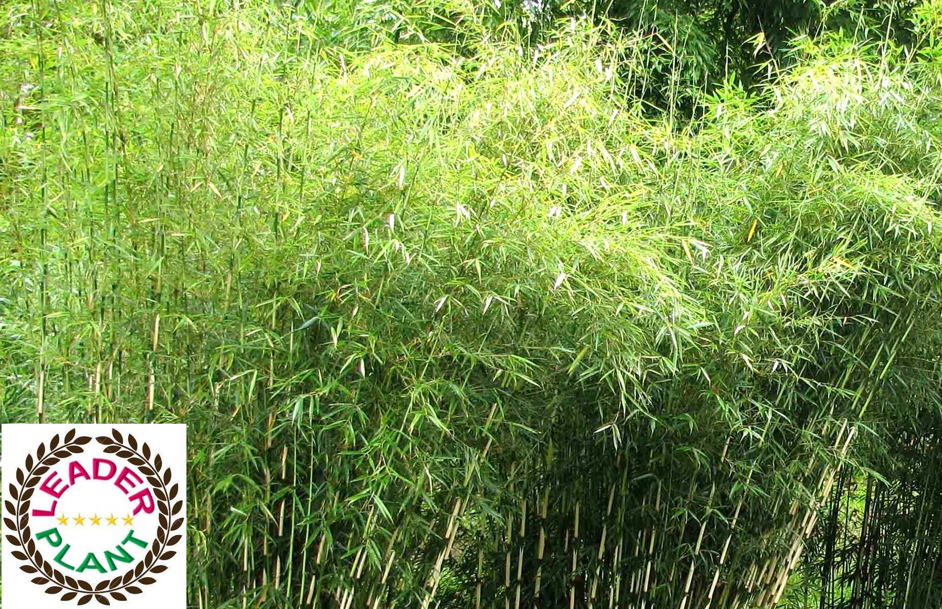 Bambou  campbell