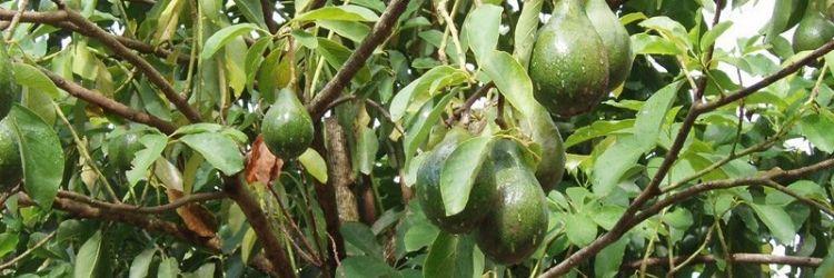 Avocatier