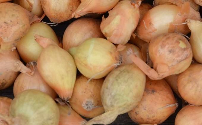 Planter oignons, ail, échalotes