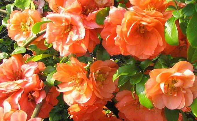 Arbustes à fleur orange