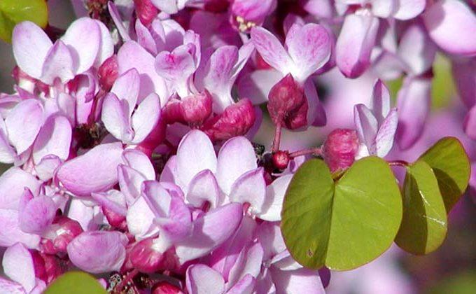 Arbustes à fleur rose