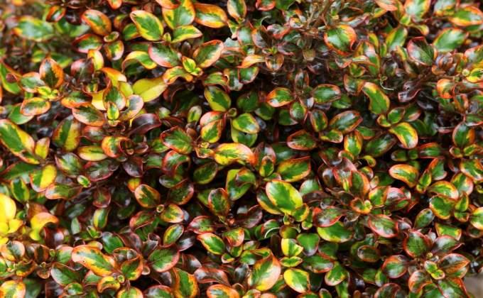 Arbustes Persistants à feuillage coloré