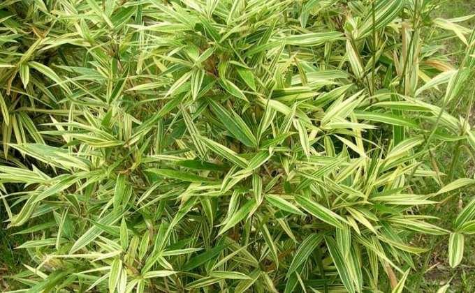 Bambous nains