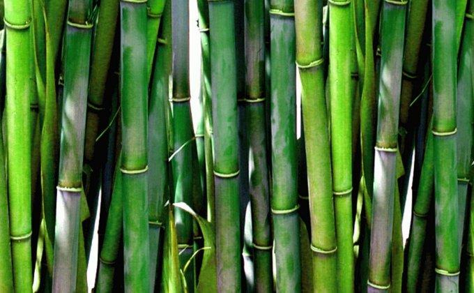 Bambous peu traçants