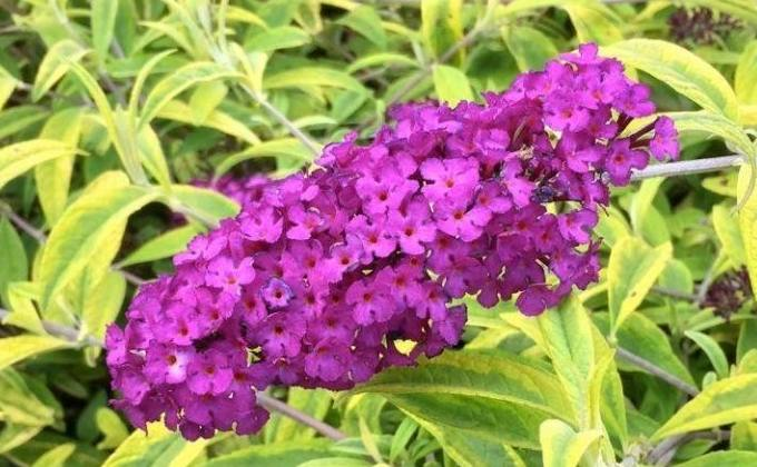 Buddleias