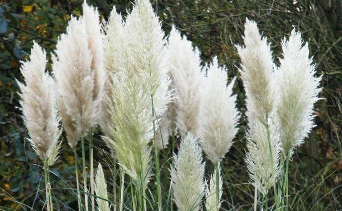 Cortaderias - Herbe de la Pampa