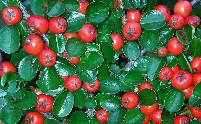 Cotoneasters