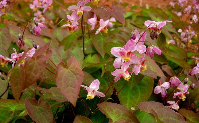Épimedium - Fleur des Elfes