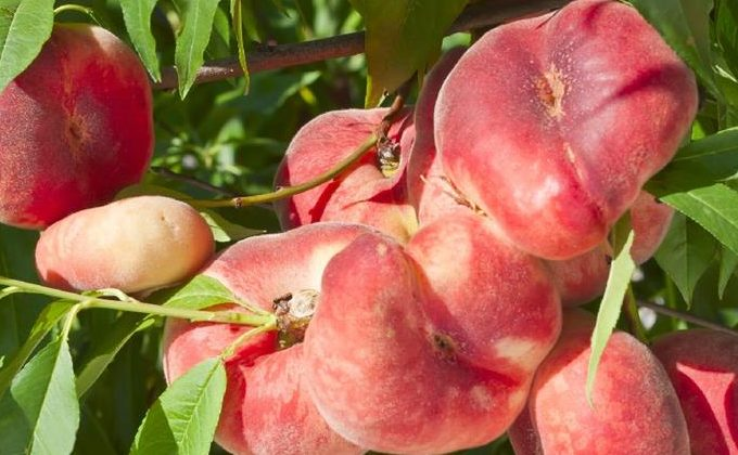 Arbres Fruitiers Nains