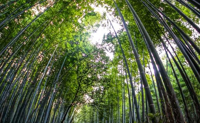 Grands bambous
