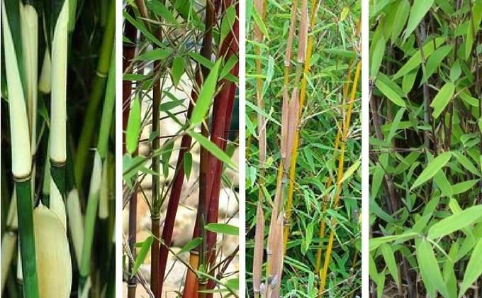 Haies de Bambous