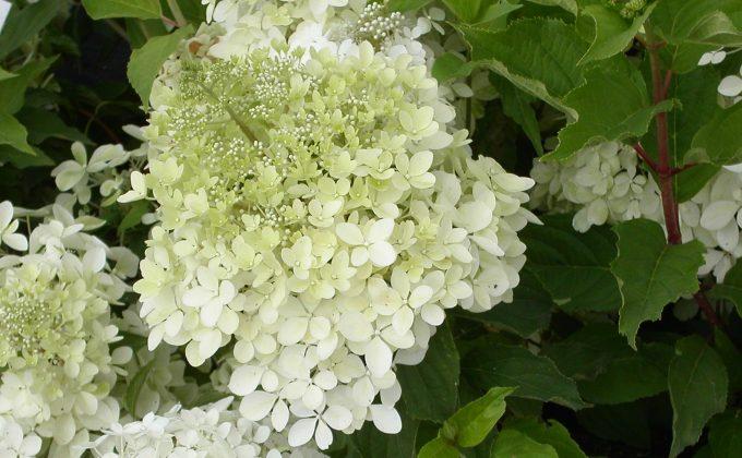 Hortensias - Hydrangeas