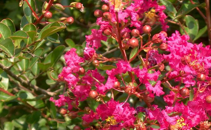 Tous les arbustes de jardin vente arbres et arbustes - Le lilas des indes ...