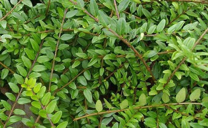 Tous les arbustes de jardin vente arbres et arbustes for Catalogue arbustes jardin