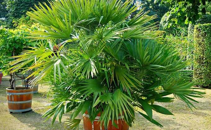 Palmiers déco