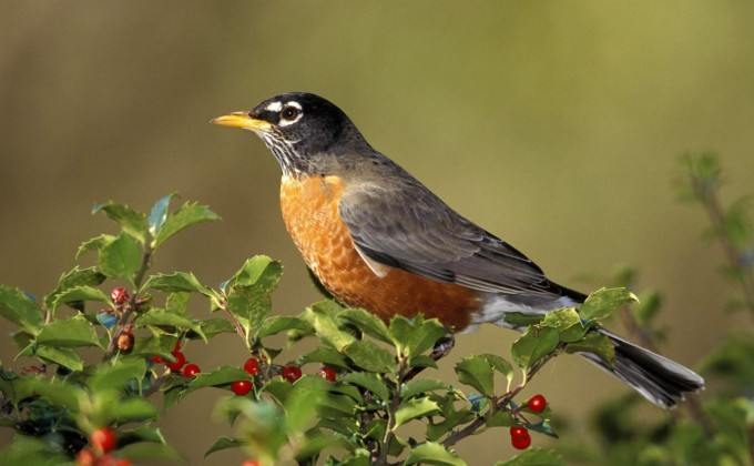 Plantes à fruits pour les oiseaux