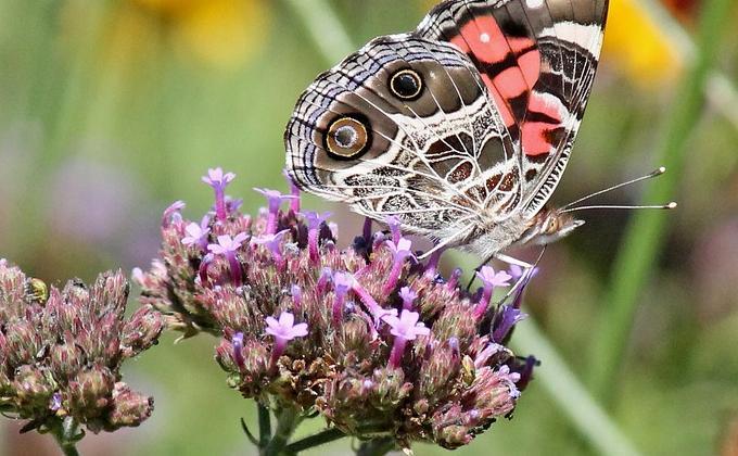 Plantes amies des papillons