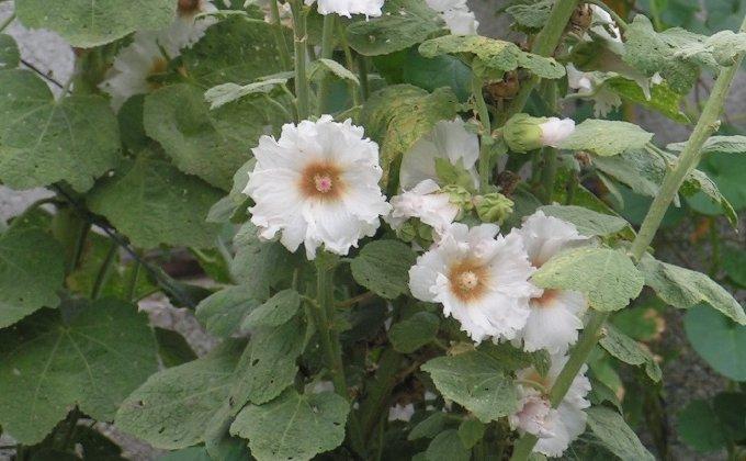 Roses trémières - Alceas