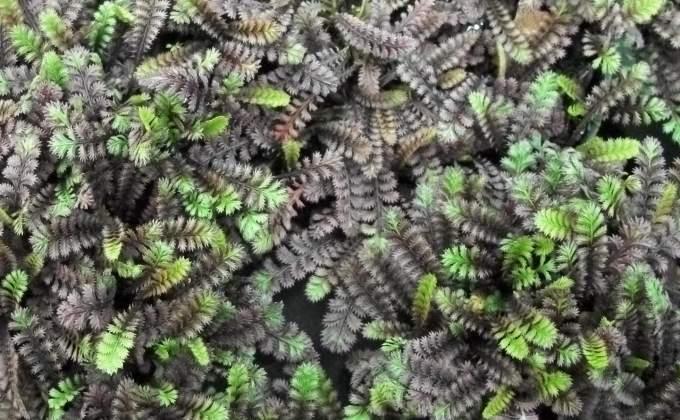 Tapis végétaux - Plantes gazonnantes