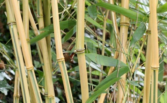 Bambou vente en ligne de bambous bambou pas cher for Pepiniere en ligne pas cher