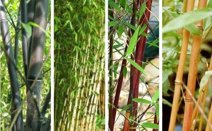Tous les Bambous Fargesia