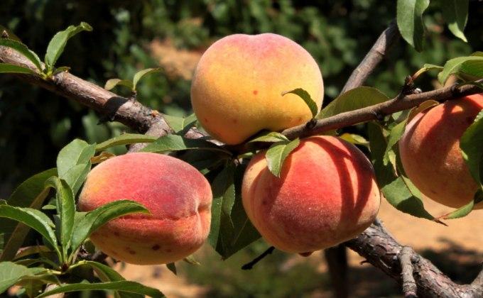 Fruitiers pour terrasses et balcons vente d 39 arbres - Arbres nains pour terrasses ...