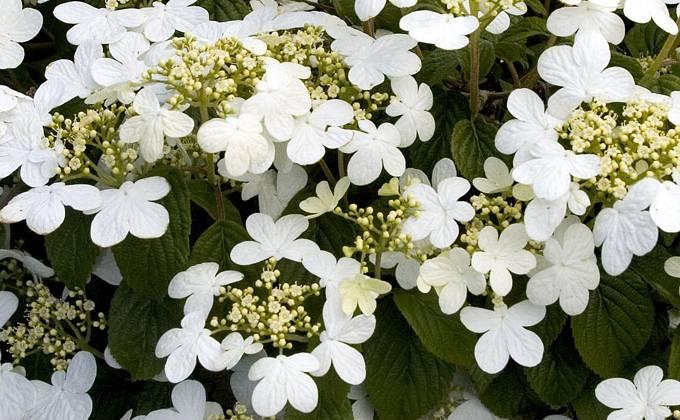Viburnums