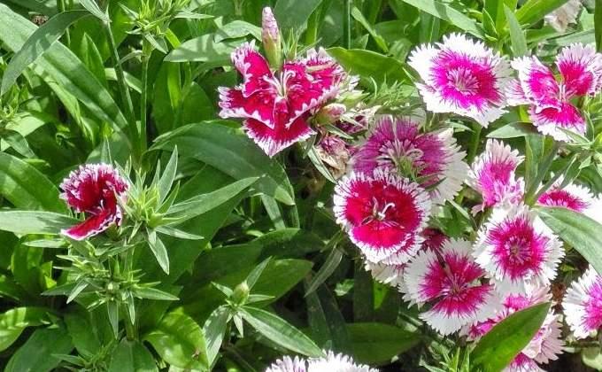 Oeillets - Dianthus