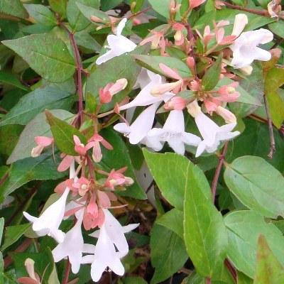 Abélia grandiflora - Vente en ligne de plants de Abélia grandiflora pas  cher | Leaderplant