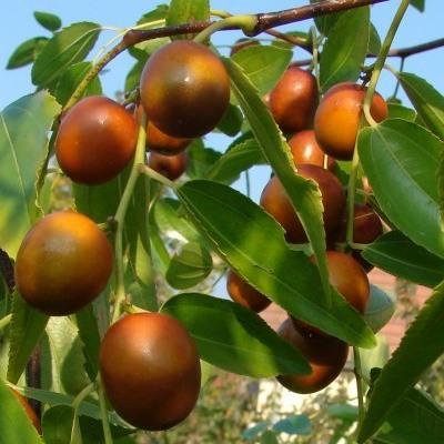 Jujubier - Jujube - Dattier chinois - Vente en ligne de plants de Jujubier - Jujube - Dattier chinois pas cher | Leaderplant