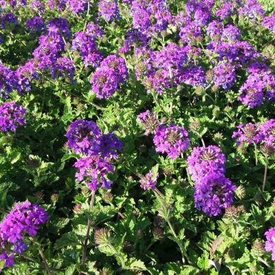 Verveine Pourpre Homestead Purple Vente En Ligne De Plants De Verveine Pourpre Homestead Purple Pas Cher Leaderplant