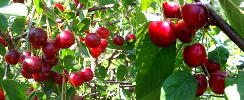 cerisier - leaderplant