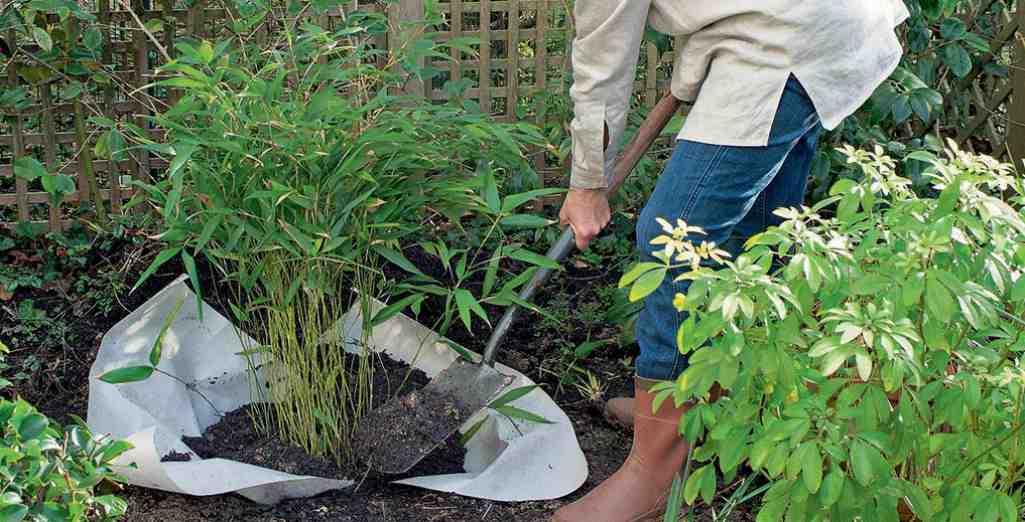 comment planter un bambou fargesia