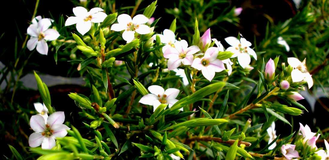 couvre-sols arbustifs <50cm - leaderplant