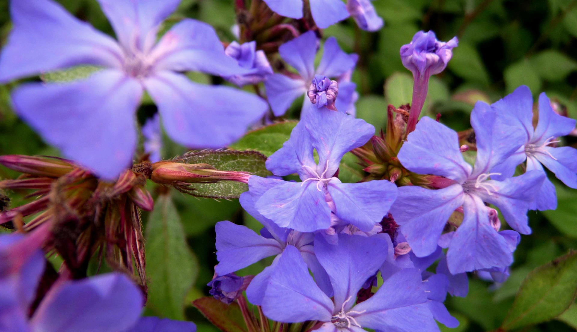 couvre-sols ombre - plumbago