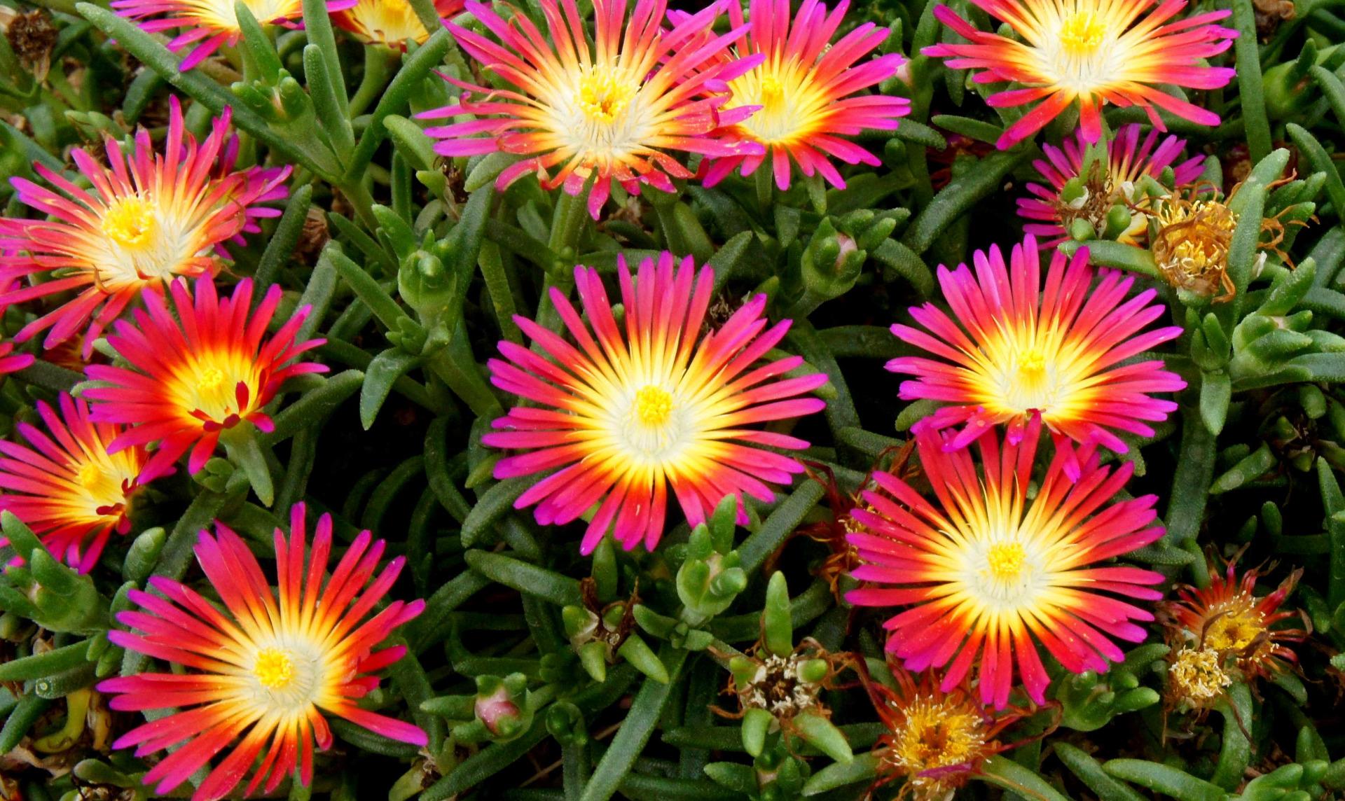 Couvre Sol Croissance Rapide couvre-sols persistants - vente de plantes à feuillage