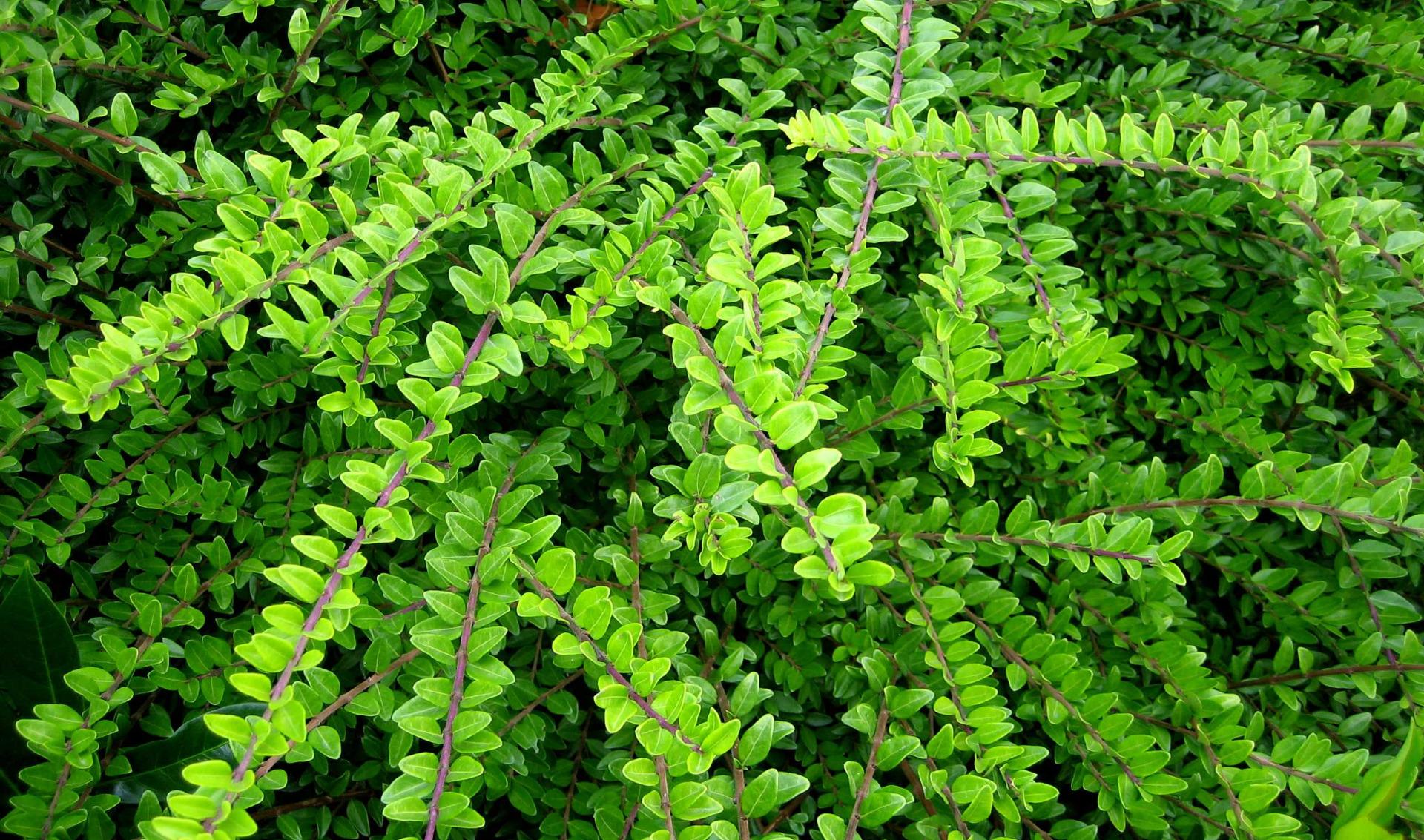 plantes tapissantes pour forte pente - leaderplant