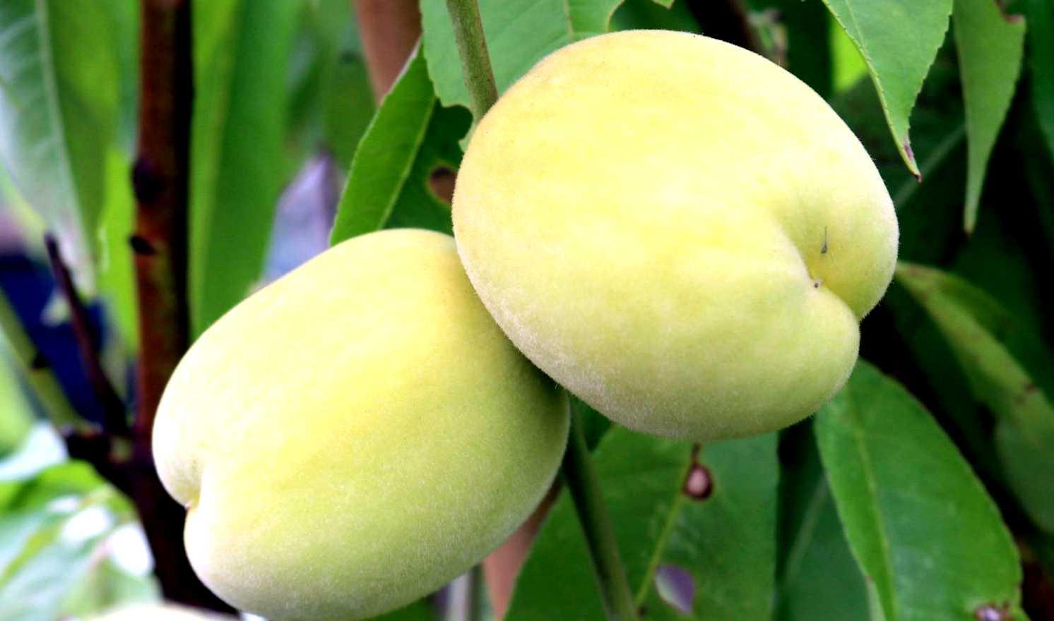 fruitier nain - leaderplant