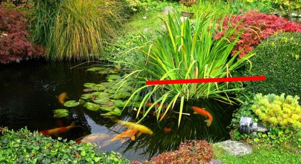 taille plante bassin