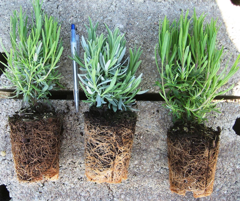 Plantes Pour Terrasse Sud Est qu'est ce qu'un jeune plant de pépinière ?