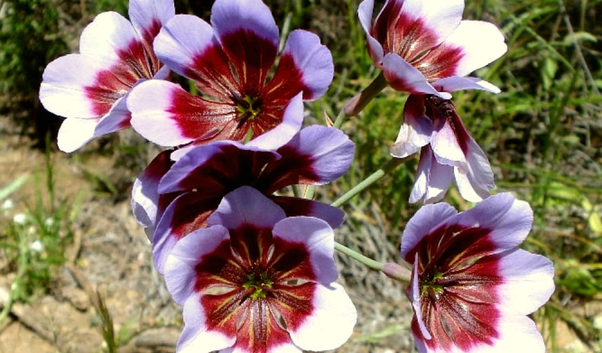 plantes couvre-sols melliferes - leaderplant