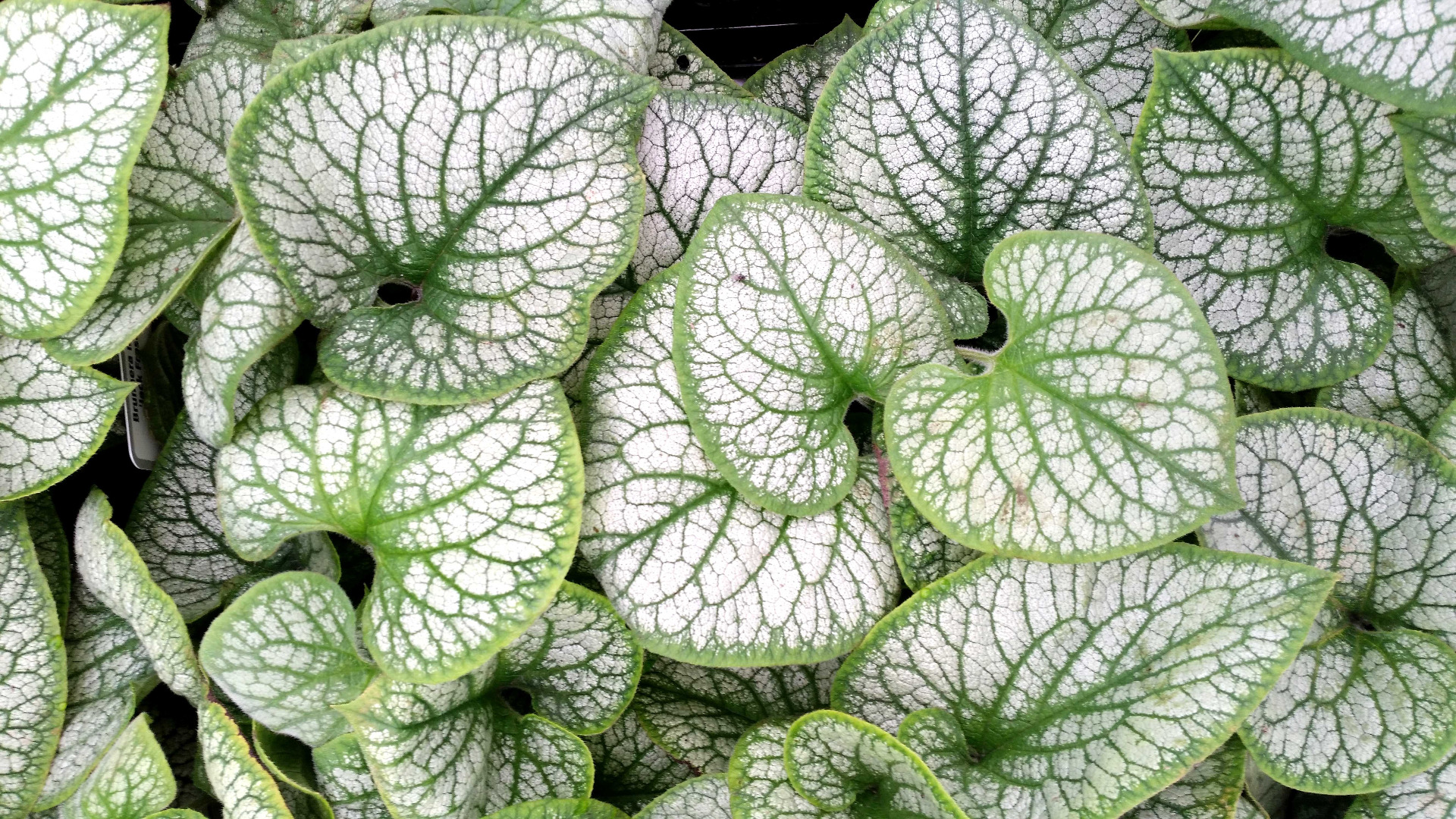 couvre-sols ombre - brunnera - leaderplant