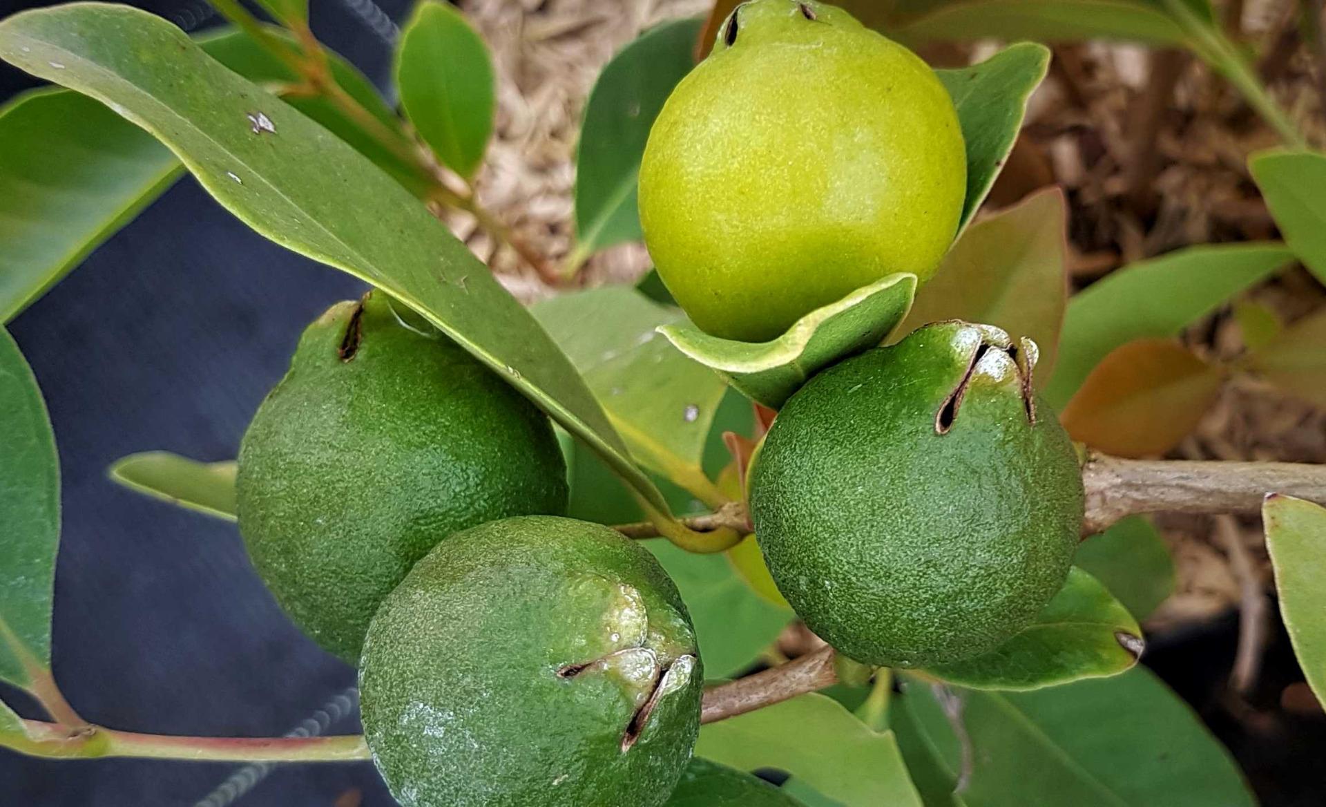 Arbuste Pour Terrain Calcaire arbres fruitiers pour terrain calcaire - vente d'arbres