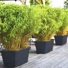 Le meilleur des Bambous non traçants