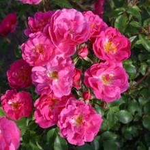 Rosier Kordes Pink Emely, superbe floraison !